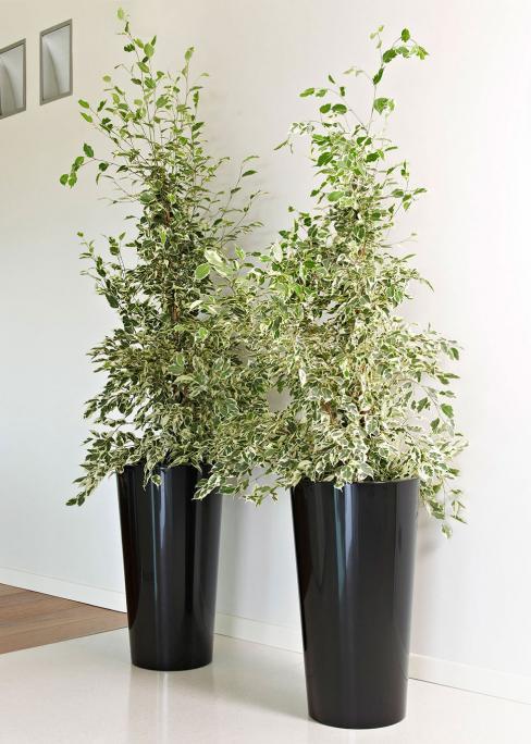 abbinato a Ficus benjamina