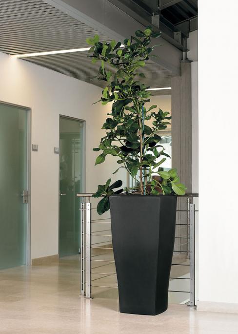 abbinato a Ficus
