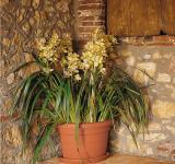 associé à l'Orchidée cymbidium