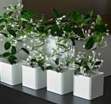 combined with Stephanotis