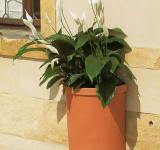 combined with Spathiphyllum